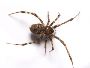 house-spider-bug_0765