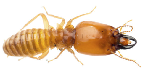 A termite or white soldier ant is isolated on a white background. The insect is displayed horizontally across the image. The head, thorax and abdomen of the soldier termite can be seen. The termite is a golden color, and it has six limbs. The termite has antennae and black pinchers around its mouth, extending from his head. The abdomen of the soldier termite is ridged, and its waist is tapered in. The head is the widest part of the termite's body. Its back legs are the longest, and they are bent in the middle.