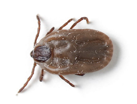 dog tick isolated on white